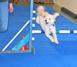 Photo of Max doing agility